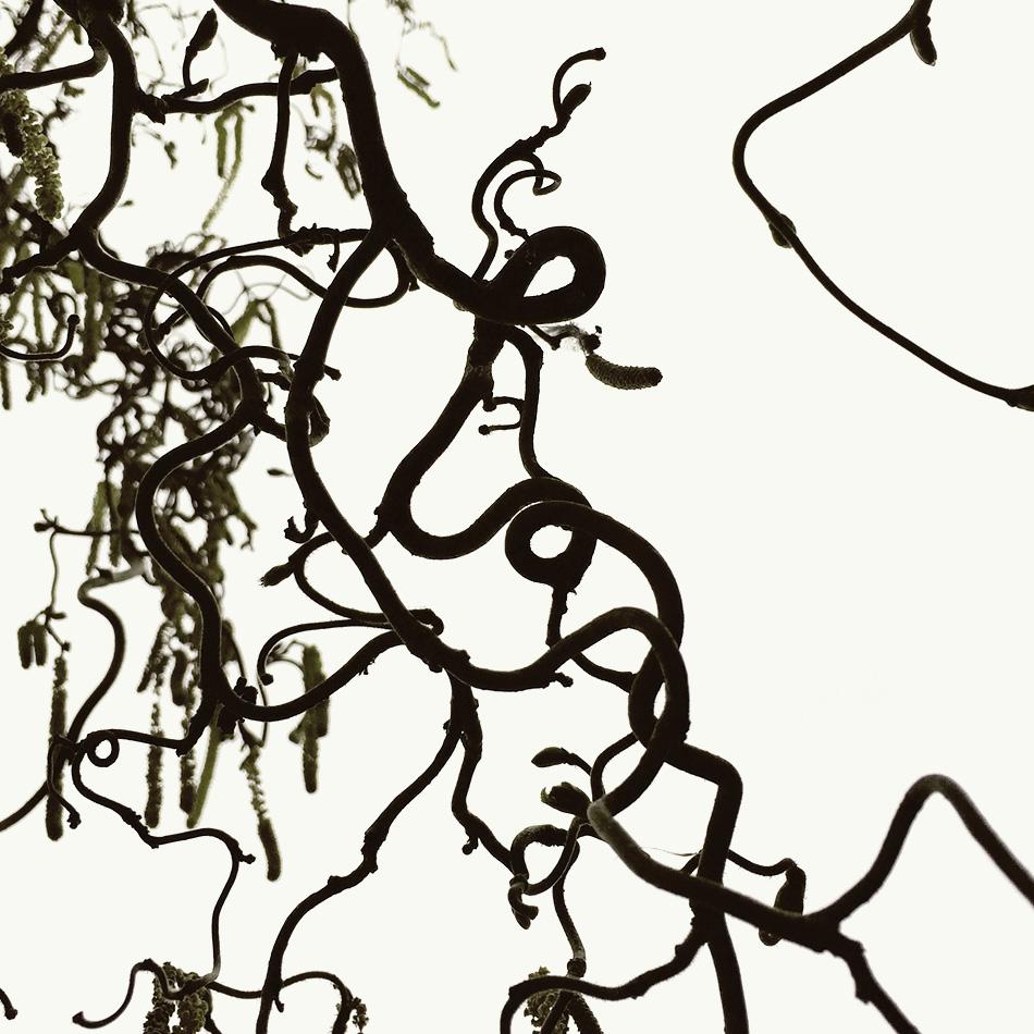 Korkenzieherweide